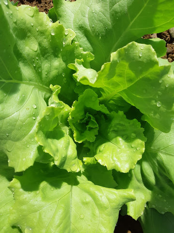 Boston Head Lettuce