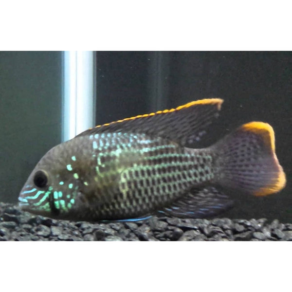 "15x Package - Green Terror Cichlid  ~ Sml/Med 1 1/2"" - 2 1/2"" Each"