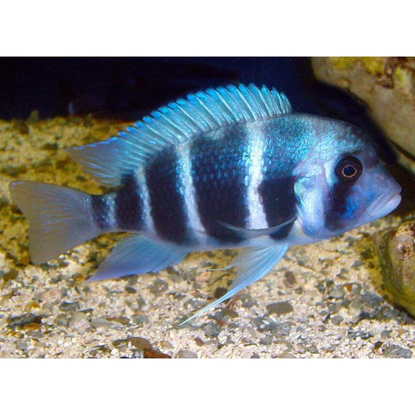 "x1 Package - Mpimbwe Blue Frontosa Cichlid Xlg 5""-7"" Each"