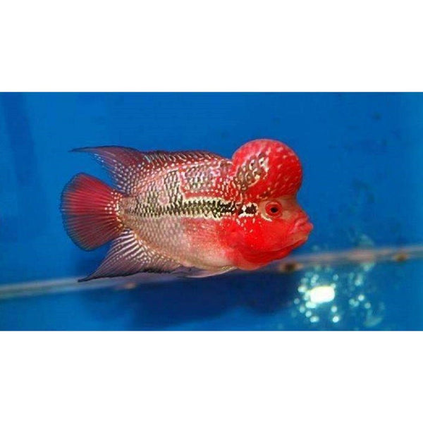"x1 Package - Red Dragon Flowerhorn Cichlid  Sml 1""- 1 1/2"" Each"