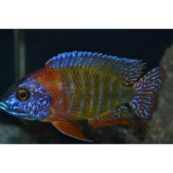 "x1 Package - Red Fire Queen Peacock Cichlid Lrg 4"" - 5"" Each"