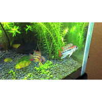 "x1 Package - Red Neck Apisto. Macmasteri Cichlid Pair  Sml 1""- 1 1/2"" Each (Male & Female)"