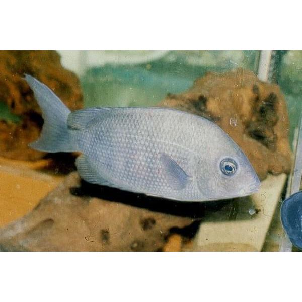 "x1 Package - Red Sided Damba Cichlid  Sml 1""- 1 1/2"" Each"