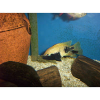 "x1 Package - Yellow Herichthys Labridens Cichlid  Sml 1""- 1 1/2"" Each"