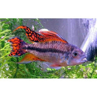x1 Pair Package - Double Orange Apisto. Cacatouides Cichl. Pair