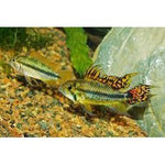 "x1 Pair Package - Double Red Apisto Cacatouides Cichlid Pair  Sml 1""- 1 1/2"" Each"