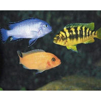 "x10 Package - Assorted African Cichlid Lrg 4"" - 5"" Each"