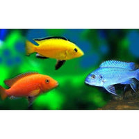 "x10 Package - Assorted Premium African Cichlid  Sml 1""- 1 1/2"" Each"