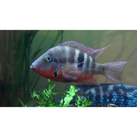 "x10 Package - Firemouth Meeki Cichlid  Sml 1""- 1 1/2"" Each"