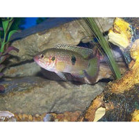 "x10 Package - Jewel Cichlid Med 2"" - 3"" Each"