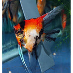 "x10 Package - Koi Angel  Sml 1""- 1 1/2"" Each"