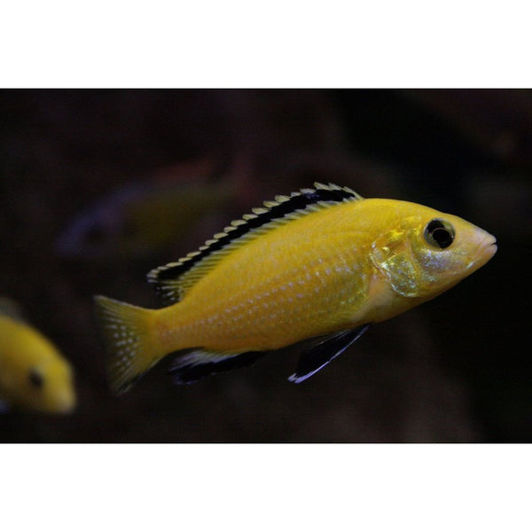 "x10 Package - Lemon Yellow Labido Caeruleus Cichlid  Sml 1""- 1 1/2"" Each"