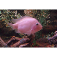 "x10 Package - Pink Convict Cichlid Med 2"" - 3"" Each"