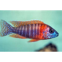 "x10 Package - Red Peacock Cichlid  Sml 1""- 1 1/2"" Each"