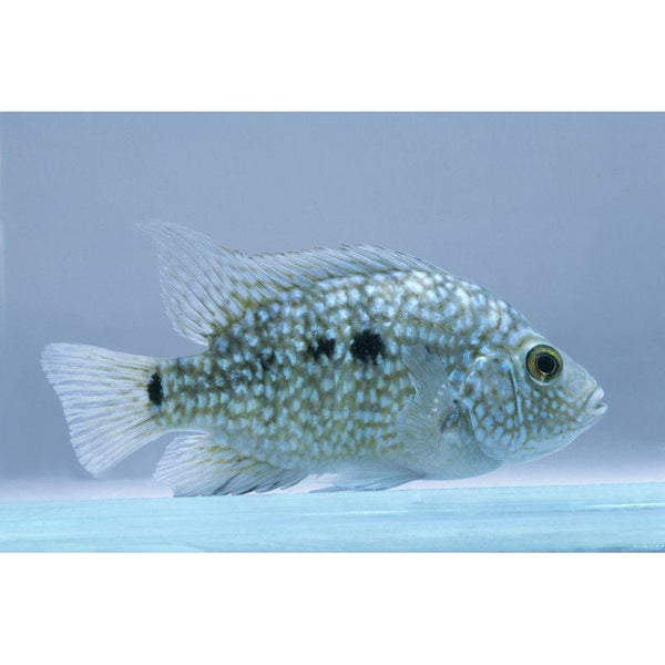 "x10 Package - Texas Cichlid  Sml 1""- 1 1/2"" Each"