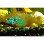 "x10 Package - Turquoise Jewel Cichlid  Sml 1""- 1 1/2"" Each"