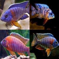"x15 Package - Assorted Aulonocara Peacock Cichlid  Sml 1""- 1 1/2"" Each"
