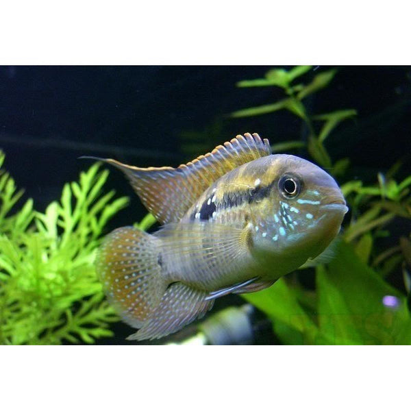 X2 Package - *FREE* Blue Acara Cichlid *Over $100* *Orders Over $149*