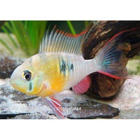 X2 Package - *FREE* Bolivian Ram Cichlid *Over $100*