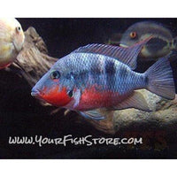 X2 Package - *FREE* Firemouth Meeki Cichlid *Over $100*