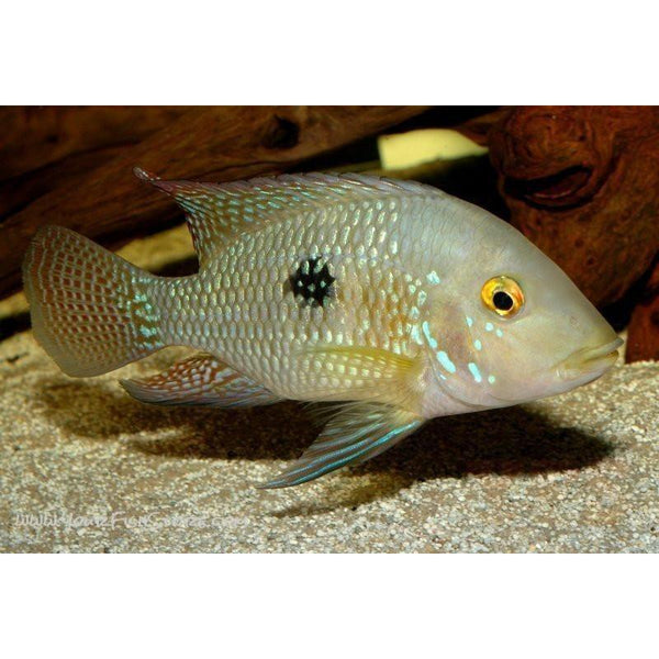 X2 Package - *FREE* Geophagus Brasiliensis Cichlid *Over $100*