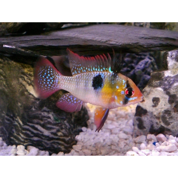 X2 Package - *FREE* German Blue Ram Cichlid *Over $100*