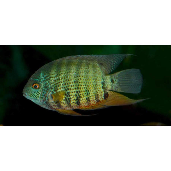 X2 Package - *FREE* Green Severum Cichlid *Over $100*
