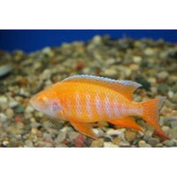 "x2 Package - Albino Eureka Peacock Cichlid  Sml 1""- 1 1/2"" Each"