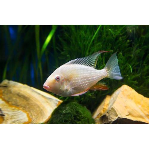 "x2 Package - Albino Heckelii Cichlid  Sml 1""- 1 1/2"" Each"