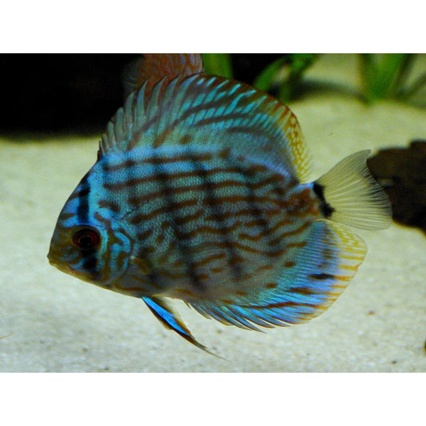 "x2 Package - Blue Turquoise Discus  Sml 1""- 1 1/2"" Each"