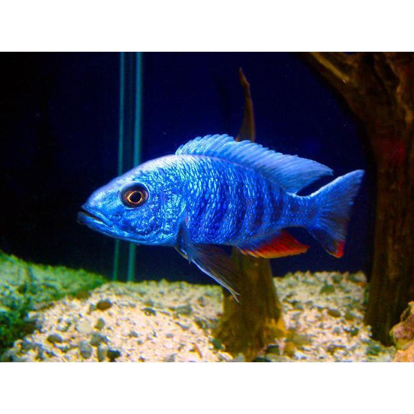 "x2 Package - Electric Blue Ahli Cichlid Male Lrg 4"" - 5"" Each"