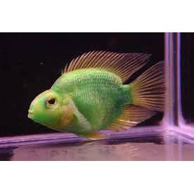 "x2 Package - Green Jellybean Parrot Cichlid  Sml 1""- 1 1/2"" Each"