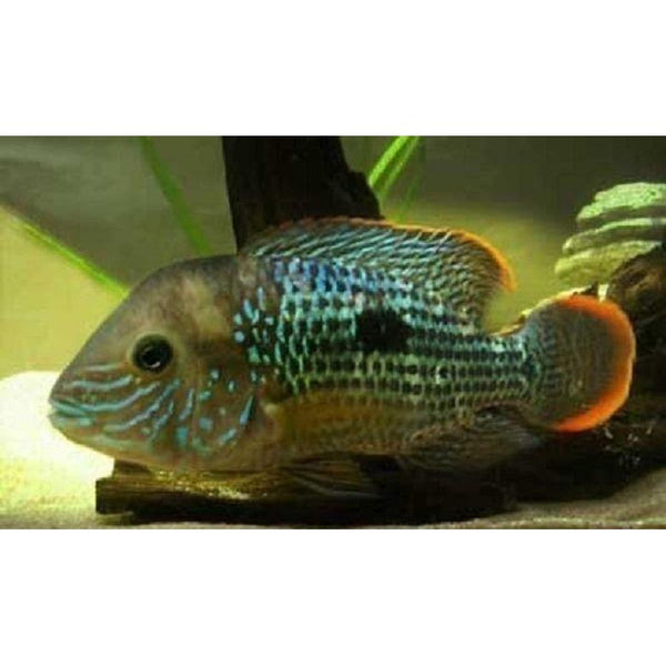 x2 Package - Green Terror Cichlid Xlg
