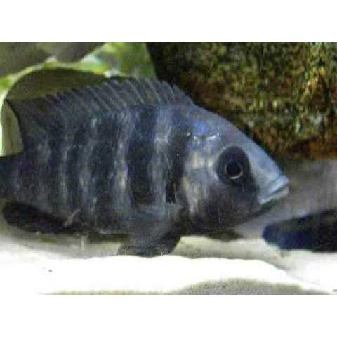 "x2 Package - Lupingu Placidochr. Phenochilus Cichlid  Sml 1""- 1 1/2"" Each"