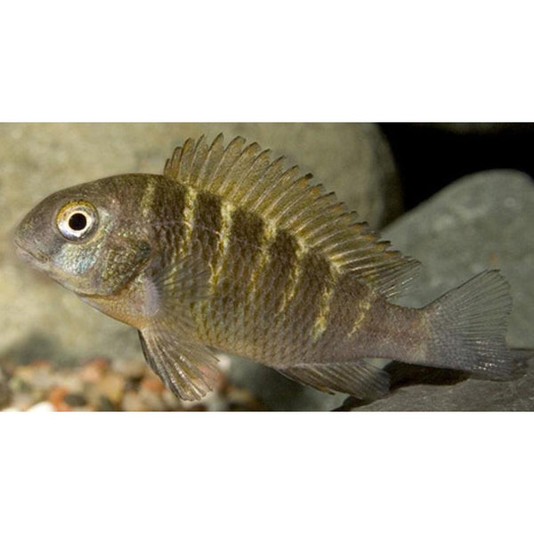 "x2 Package - Moliro Red Band Troph Moorii Cichlid  Sml 1""- 1 1/2"" Each"