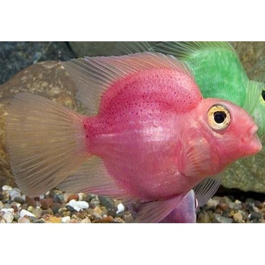 "x2 Package - Pink Jellybean Parrot Cichlid  Sml 1""- 1 1/2"" Each"