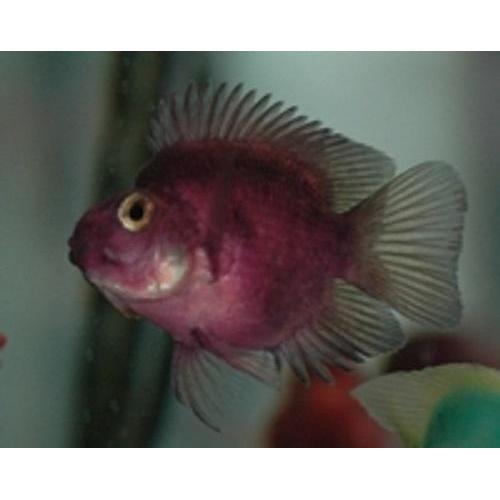 "x2 Package - Purple Jellybean Parrot Cichlid  Sml 1""- 1 1/2"" Each"