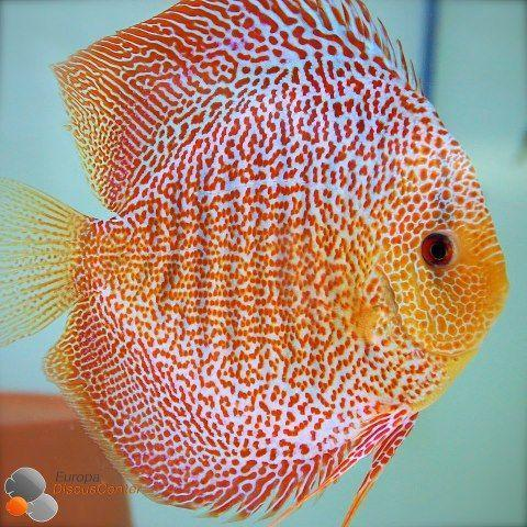"x2 Package - Red Leopard Discus  Sml 1""- 1 1/2"" Each"