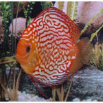"x2 Package - Red Pigeon Discus  Sml 2""- 3"" Each"