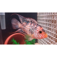 "x2 Package - Red Texas Cichlid  Sml 1""- 1 1/2"" Each"