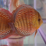 "x2 Package - Red Turquoise Discus  Sml 1""- 1 1/2"" Each"