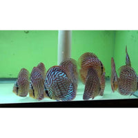 "x2 Package - Royal Blue Discus  Sml 1""- 1 1/2"" Each"