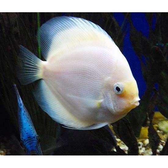 "x2 Package - Snow White Discus  ~ Sml/Med 1 1/2"" - 2 1/2"" Each"