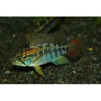 "x2 Package - Super Red Apisto.Macmasteri Cichlid Male  Sml 1""- 1 1/2"" Each"