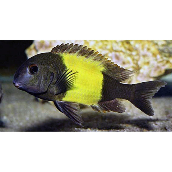 "x2 Package - Yellow Band Tropheus Moorii Cichlid  Sml 1""- 1 1/2"" Each"
