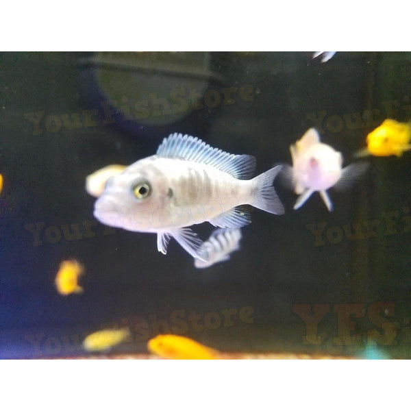 "x25 Package - Assorted African Cichlid Sml 1""- 1 1/2"" Each 1""- 1 1/2"" Each"