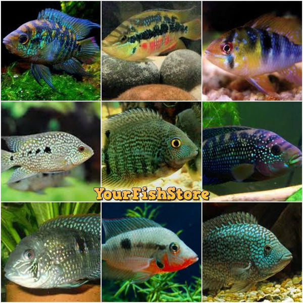 "x25 Package - Assorted South American Cichlid  Sml 1""- 1 1/2"" Each"