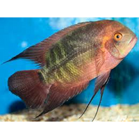 "x3 Package - Chocolate Cichlid Wild  Sml 1""- 1 1/2"" Each"