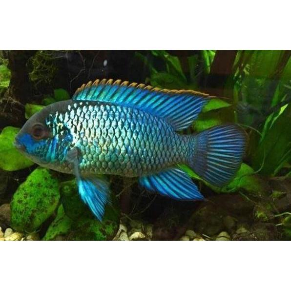 "x3 Package - Electric Blue Acara  Sml 1""- 1 1/2"" Each"