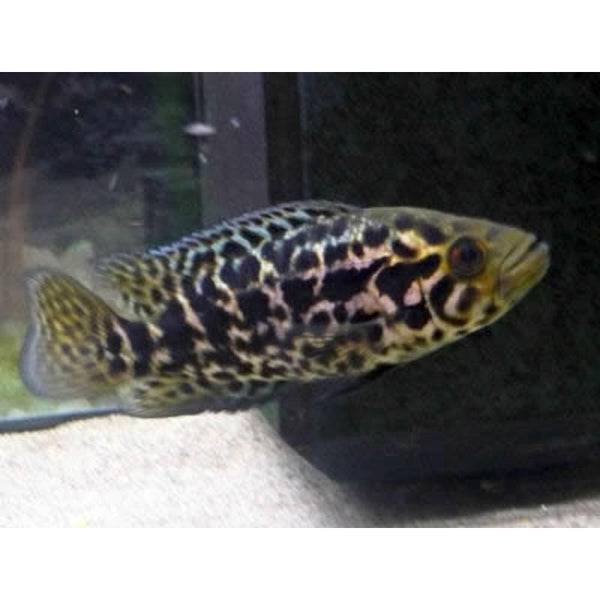 "x3 Package - Gold Jaguar Managuense Cichlid  Sml 1""- 1 1/2"" Each"